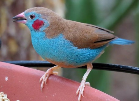 Burung Red-cheeked cordon-bleu
